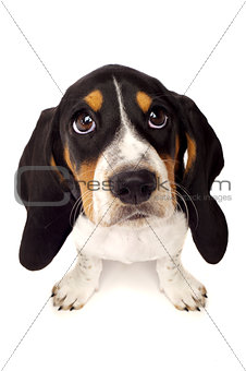 Basset Hound Puppy From Above Isolated on a White Background