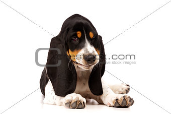 Basset Hound Puppy Isolated on a White Background