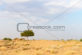 One rhejri tree in desert undet cloudy sky