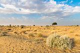 One rhejri tree in desert undet blue sky