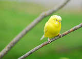 yellow budgie parrot pet bird