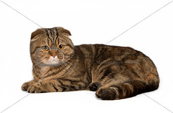 British shorthair on brown  background