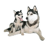 Siberian Husky Father and Son