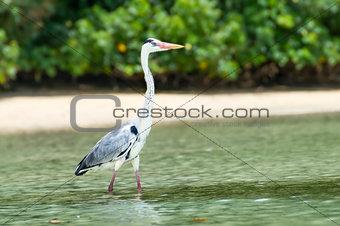 Grey Heron at the beach. Seychelles.