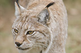 Eurasian lynx, 