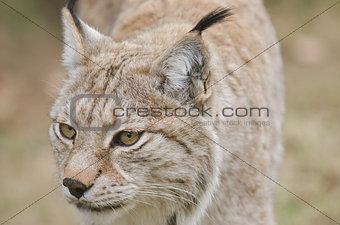 Eurasian lynx,