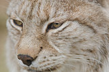 Portrait of a Eurasian lynx, Lynx lynx
