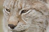 Portrait of a Eurasian lynx, Lynx lynx
