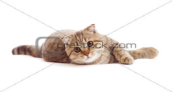 striped British kitten lying isolated
