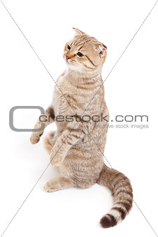 sitting kitten or cat  striped meditation