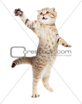jumping kitten or cat  striped Scottish fold isolated studio sho