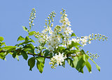 Flowering bird cherry tree on blue sky background.