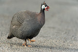 guineafowl