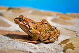 Young moor frog is sitting on a stone