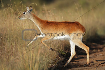 Running red lechwe antelope