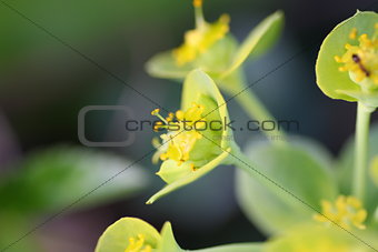 Tiny Lime green and yellow flowers