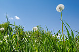 dandelion on green field