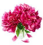 peony in vase isolated 