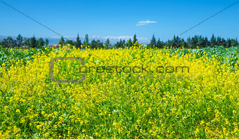 Rapeseed field of fresh flowers