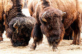 American bison / American buffalo