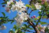 Delicate crab apple blossom on the branch