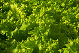 Butter Lettuce