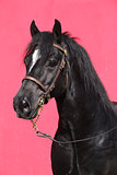Black horse isolated on pink background