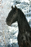 Lovely friesian stallion with snowy tree