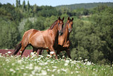 Two horses moving and looking