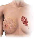 normal breast lobules