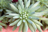 Hen and Chick Miniature Succulent Macro