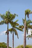 Coconut royal palm trees on a blue sky