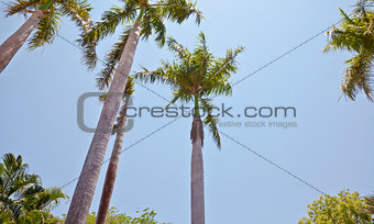 Arragement of royal coconut palms trees blue clear sky
