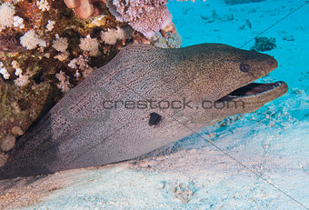 Giant moray eel on a coral reef
