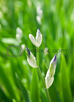 Beautiful  fleur-de-lis,  heraldic  lily