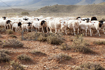 A flock of Dormer sheep walking on gravel road  in South Africa