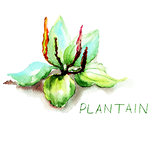 Greater Plantain