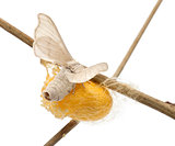 Domesticated Silkmoth next to own cocoon, Bombyx mori, laying eggs against white background