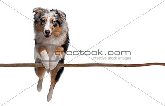Australian shepherd jumping over branch against white background
