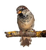 Male House Sparrow, Passer domesticus, 4 months old, in front of white background