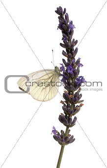 Green-veined White, Pieris napi, on purple flower in front of white background
