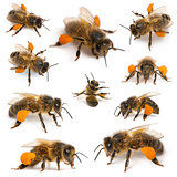 Composition of Western honey bees or European honey bees, Apis mellifera, carrying pollen, in front of white background