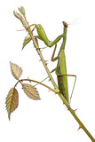 Female European Mantis or Praying Mantis, Mantis religiosa, on a bramble in front of white background