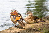 Pair of Mandarin ducks.