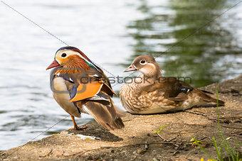Pair of Mandarin ducks.
