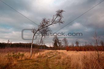 birch on wild meadows in Dwingelderveld