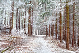 frozen pine trees in forest
