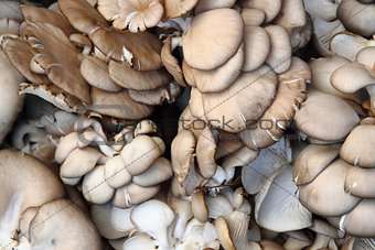 oyster moshrooms