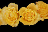 yellow roses with on a black background