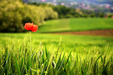 Poppy Flower in Wheat Field Landscape